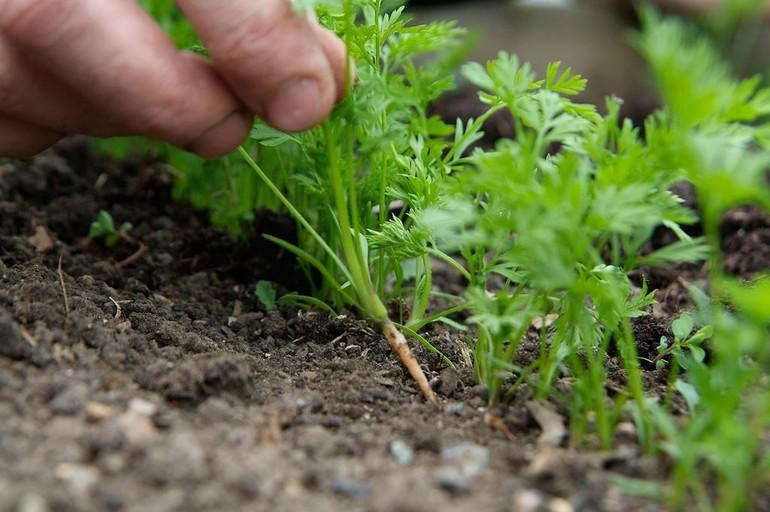 Посадка моркови весной: когда и как правильно