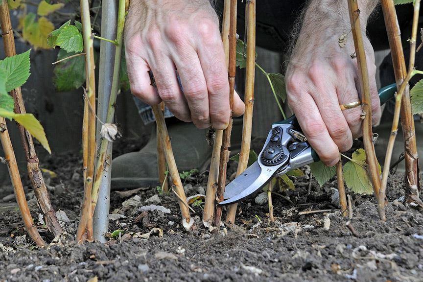 Как обрезать малину осенью, чтобы урожай удвоился!
