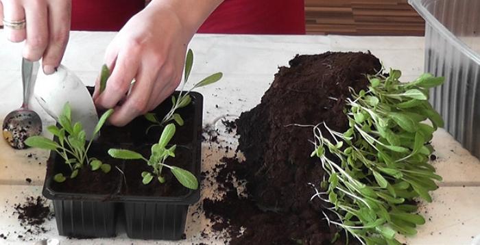 7 цветочных культур, которые нужно посеять на рассаду в марте