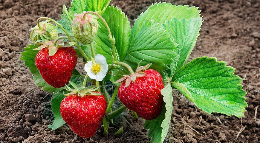 Как гарантированно вырастить рассаду земляники  из семян