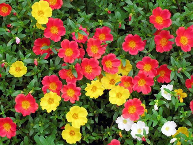 Портулак -  яркий неприхотливый цветочный ковер