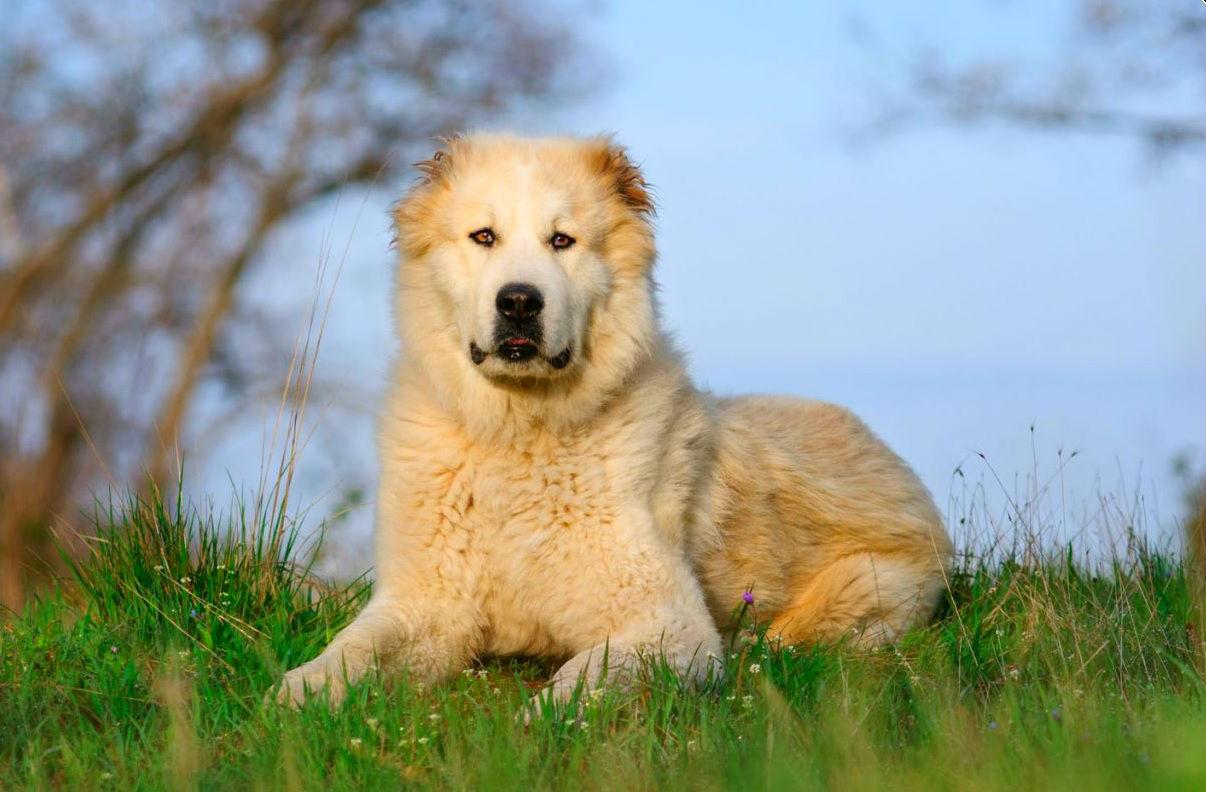 Собака для охраны частного  дома - 6 лучших сторожевых пород