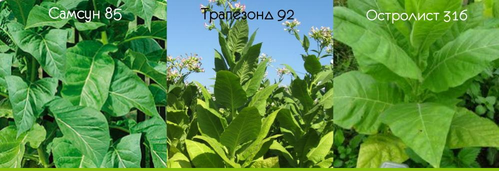 Как выращивать табак - посадка и уход