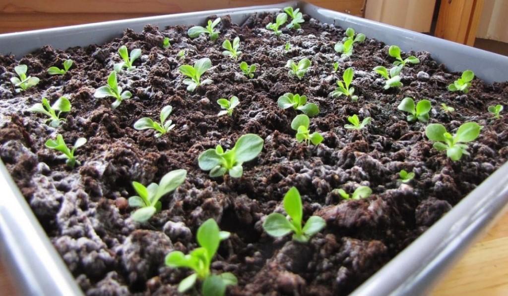 Цветок Вероника - посадка и уход за растением