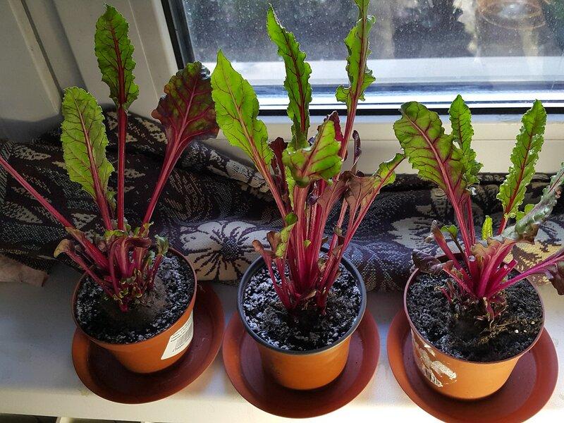 Мангольд: выращивание и уход за листовой свеклой