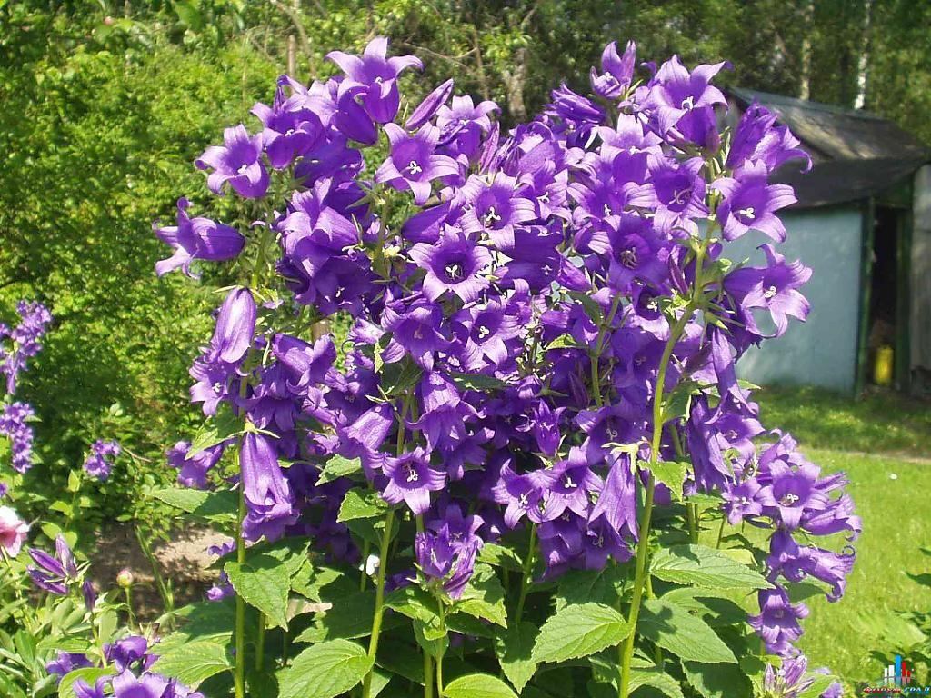 Цветок Колокольчик - неприхотливый красавец