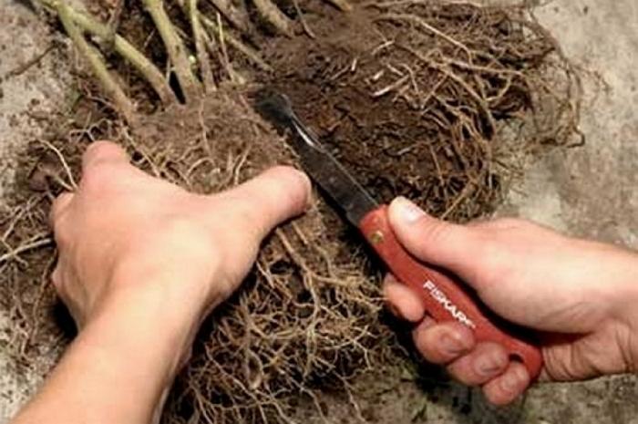 Лапчатка кустарниковая -  красивейший многолетник