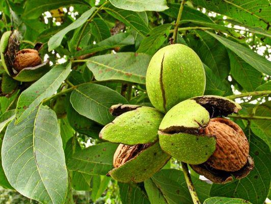 Грецкий орех – дерево жизни: как вырастить идеальное растение
