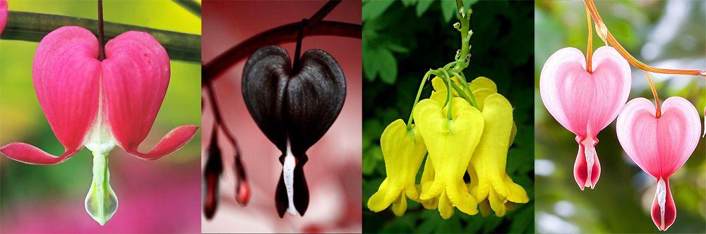 "Дицентра или цветок ""Разбитое сердце"""