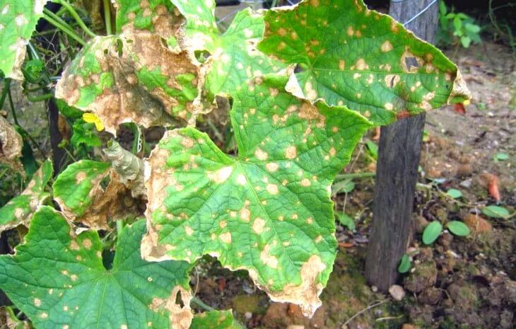 Болезни огурцов - определение и профилактика заболеваний