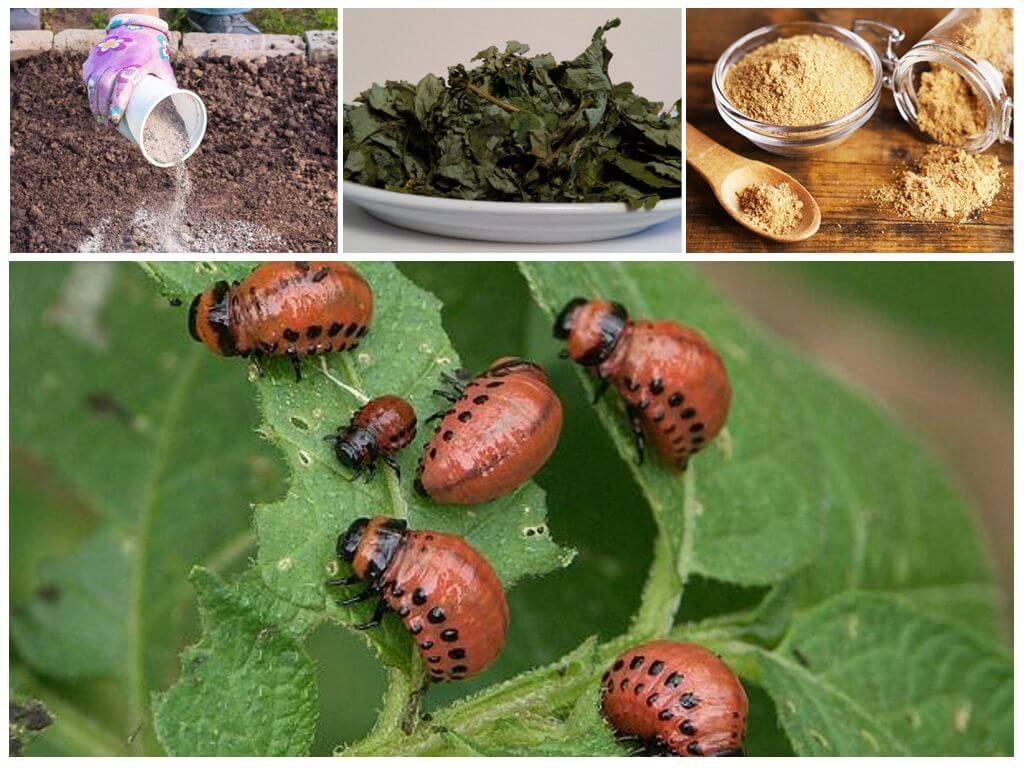 Колорадский жук: откуда он взялся и как с ним бороться