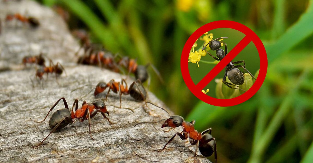 Борьба с муравьями: профессиональные и народные средства