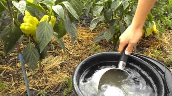Сладкий перец: особенности посадки и выращивания