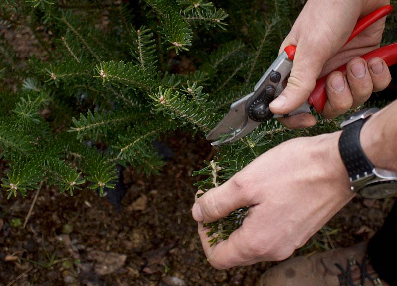 Дерево пихта: посадка и уход в открытом грунте