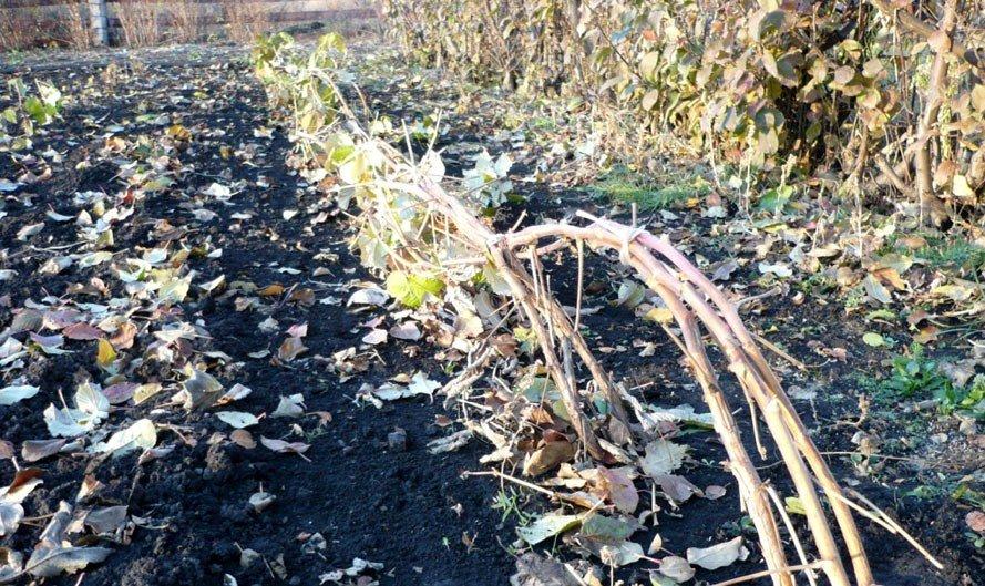 Чёрная малина Кумберленд - посадка и уход