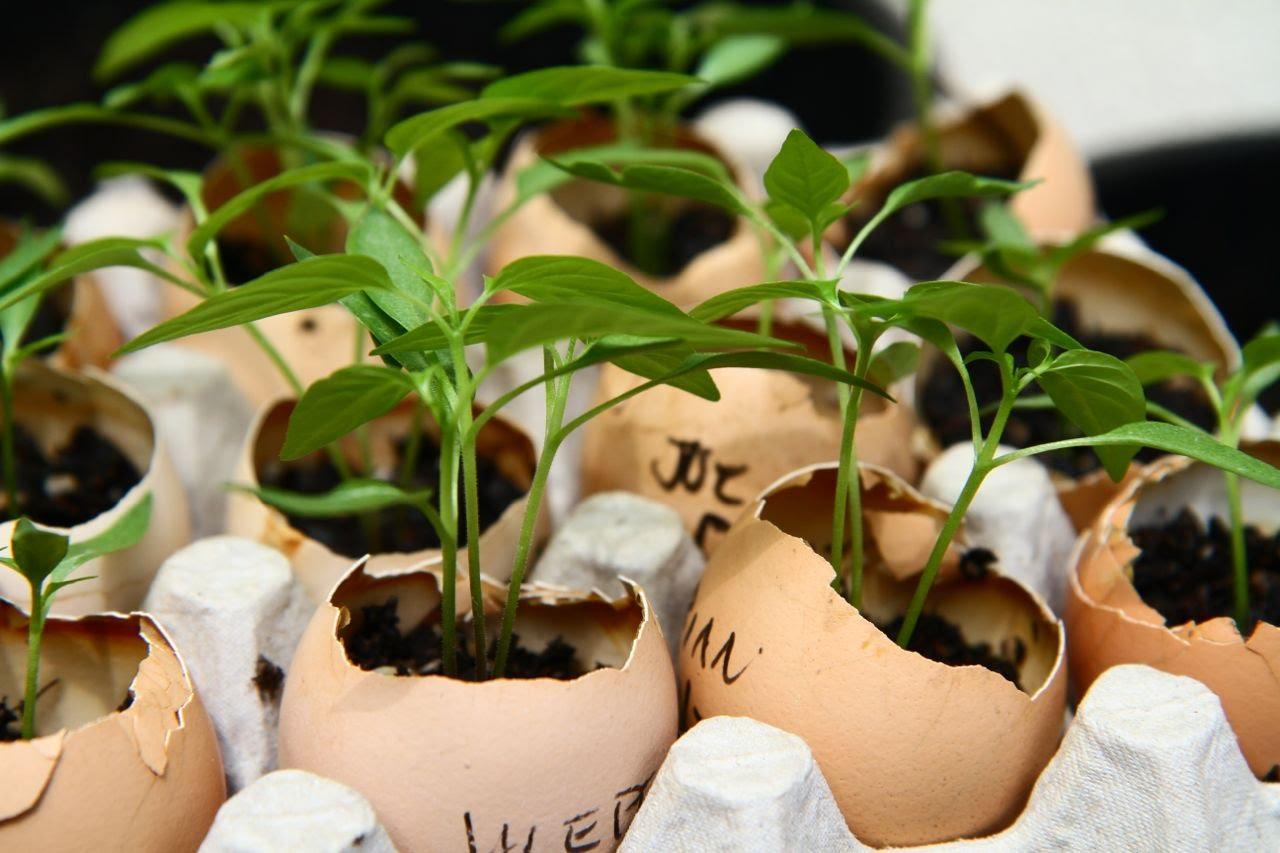 Яичная скорлупа для растений