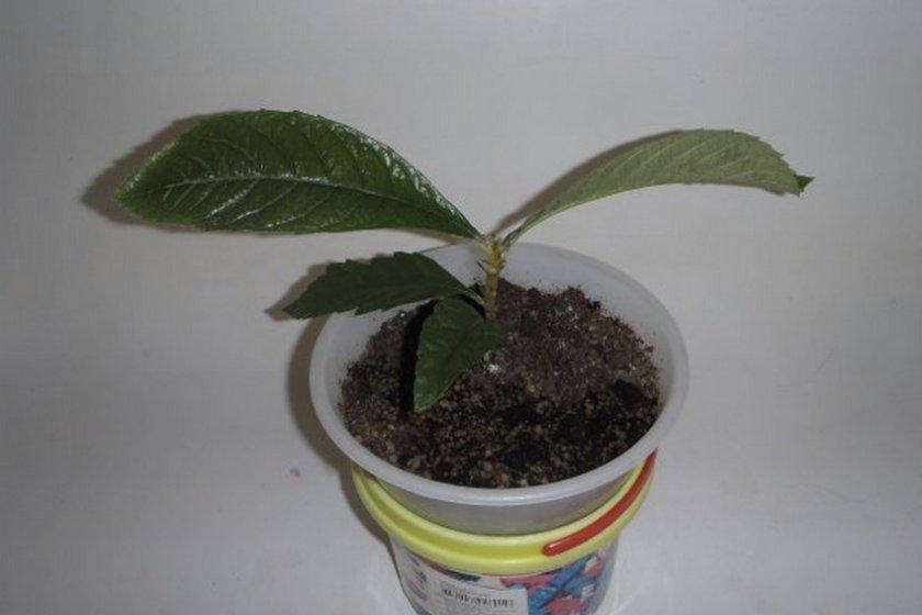Мушмула — выращивание и уход в домашних условиях
