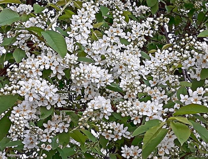 Черемуха – белоснежные облака: описание растения, посадка и уход
