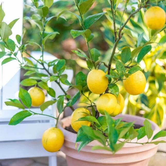 Лимон в домашних условиях: выращивание из косточки и черенками