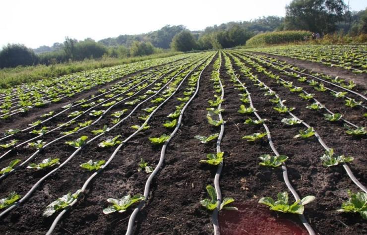 Секреты выращивания пекинской капусты: как посадить чтоб получить хороший урожай