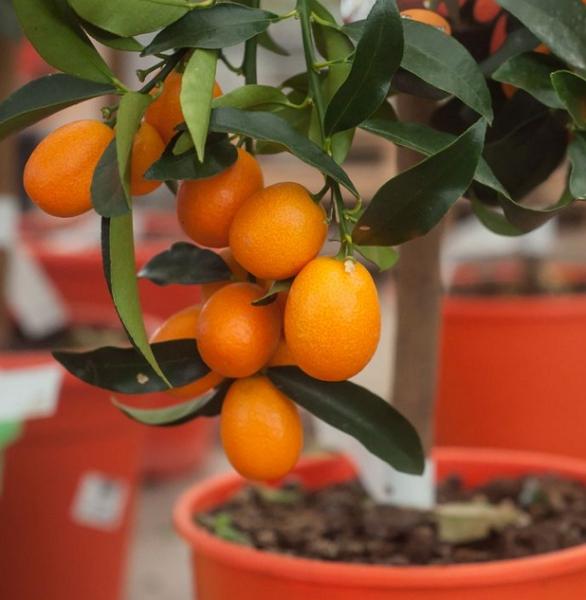 «Золотой апельсин» или Кумкват — секреты выращивания в домашних условиях
