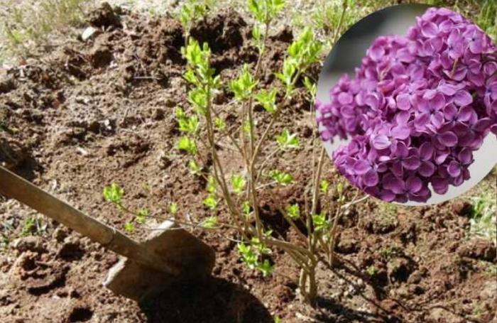 Сирень – майская красавица. Как посадить и ухаживать за ней