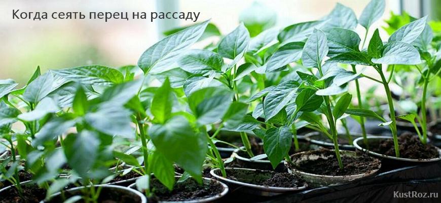 Как нужно правильно сажать перец на рассаду