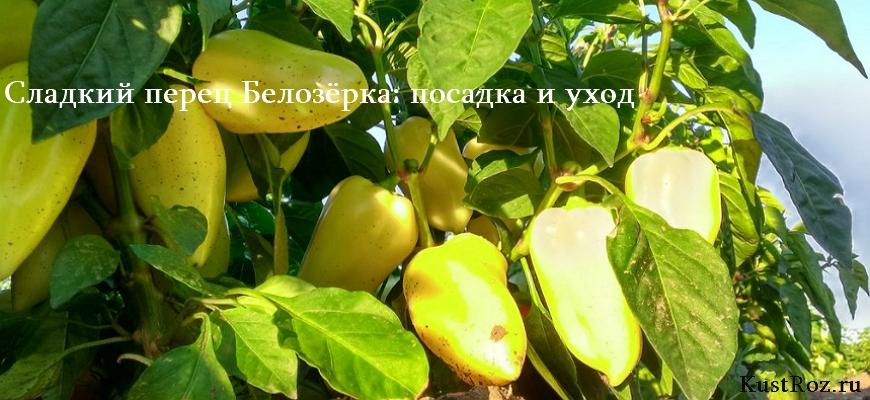 Сладкий перец Белозёрка: описание, посадка и уход