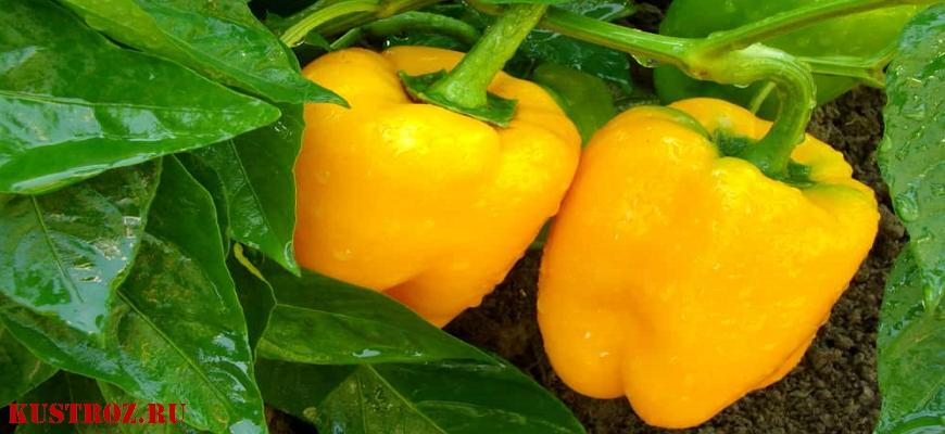 Яркий и вкусный сладкий перец «Золотое чудо»: правила ухода для получения богатого урожая