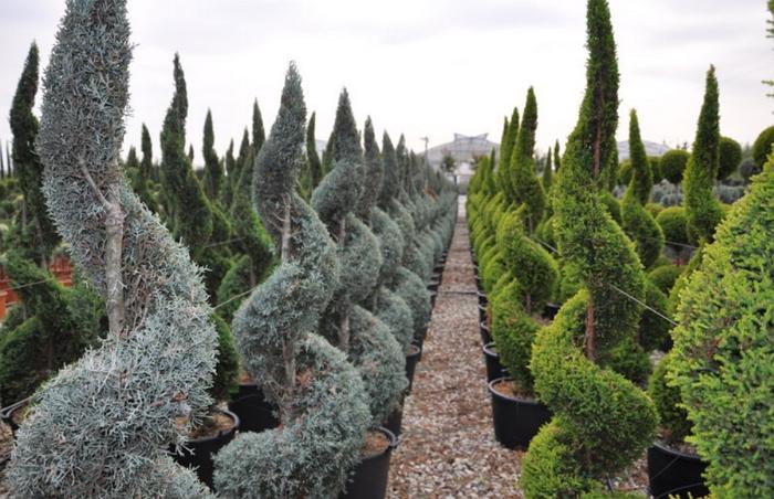 Как вырастить кипарис на даче, советы по посадке и уходу