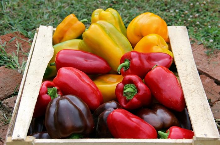 Как вырастить урожай перца Клаудио F1 – советы садоводов