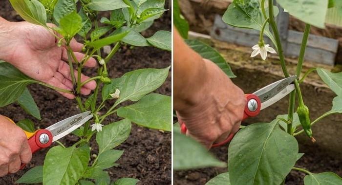 Перец Ратунда: выращивание на открытом грунте