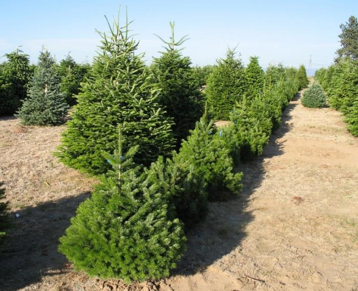Пихта сибирская: фото и описание дерева, сорта и способ посадки
