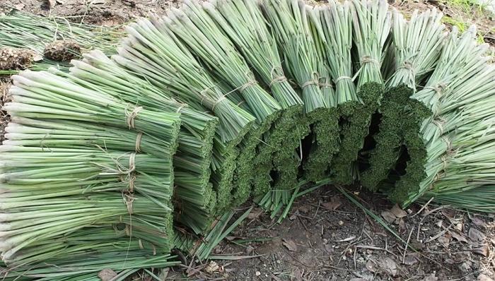 Как вырастить экзотический лемонграсс – правила посадки и ухода