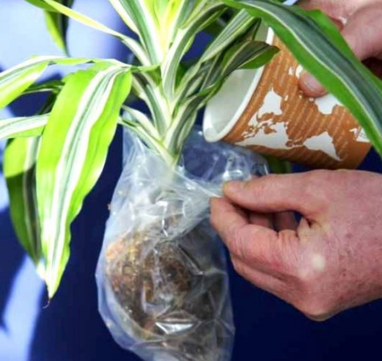 Цветок драцена Лемон Лайм – уход в домашних условиях
