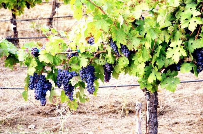 Как сделать шпалеры для виноградника своими руками?