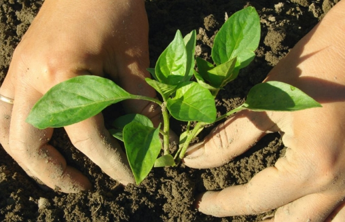 Перец гогошары – посадка и выращивание культуры