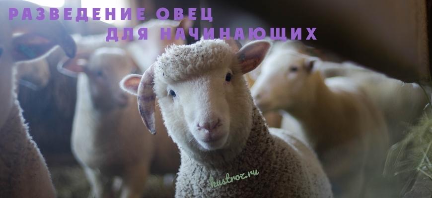 Овцеводство на начинающих