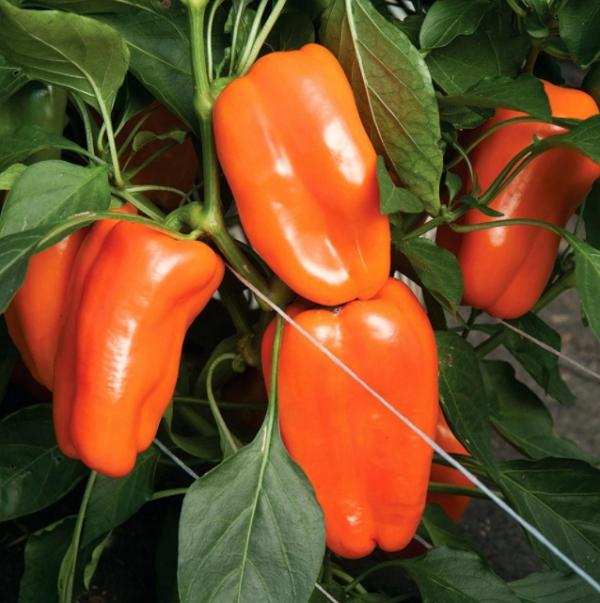 Оранжевое чудо – перец с плодами цвета солнца