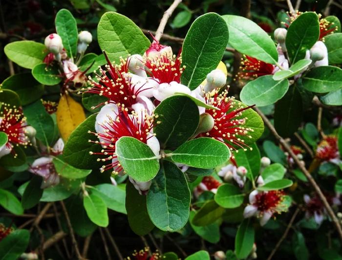 Фейхоа – реально ли вырастить южное дерево