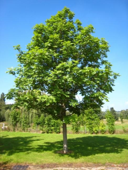 Ясень – что это за дерево и как правильно его выращивать?