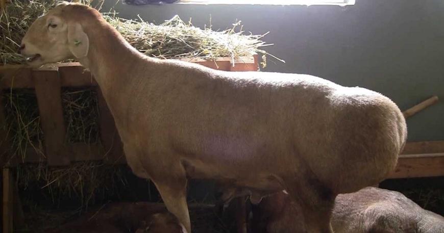 Эдильбаевкая порода овец