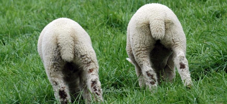 Ягнята курдючных овец