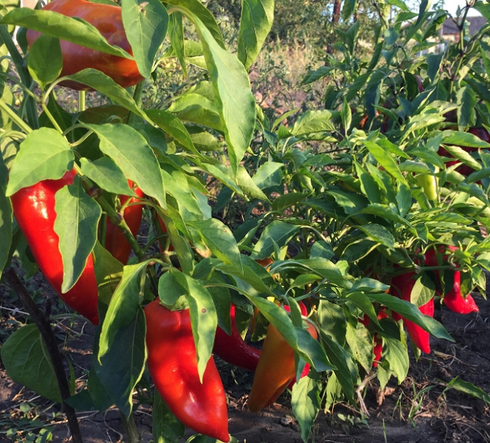 Перец Атлант – особенности сорта, выращивание и уход