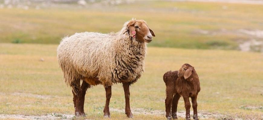 Эдильбаевская овца с ягненком