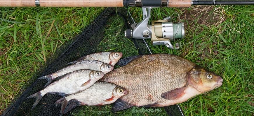 Рыба Лещ – особенности ловли и разведения