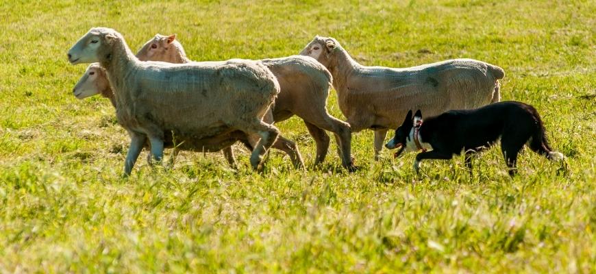 Разведение овец для начинающих