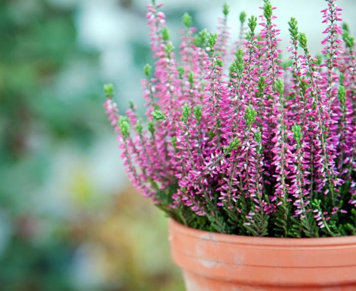 Выращиваем вереск в цветочном горшке: посадка и уход в домашних условиях