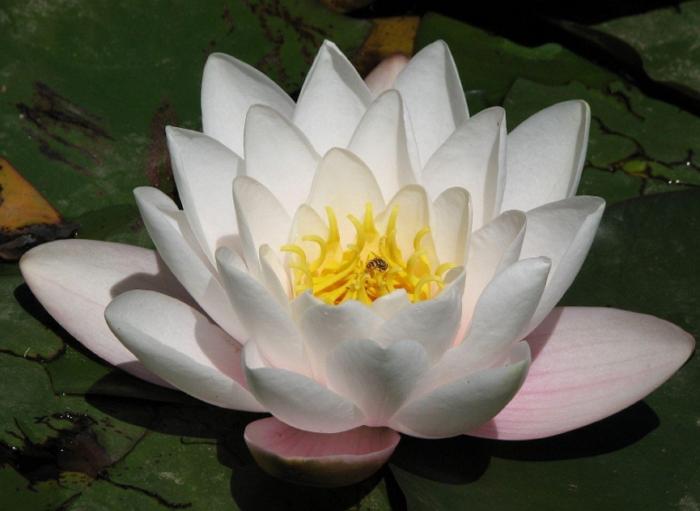 Лотос – священный цветок в садовом пруду