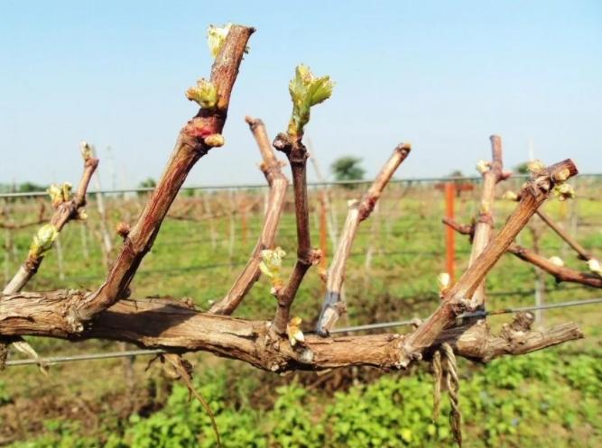 Когда и как правильно обрезать виноград весной?